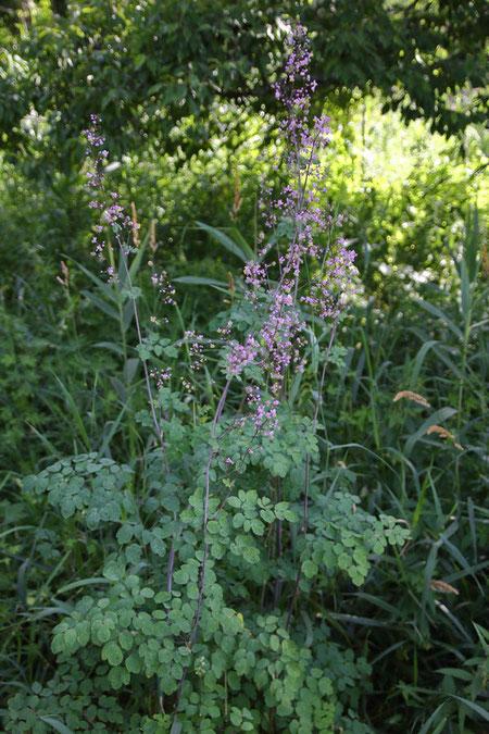 シキンカラマツ (紫錦唐松) キンポウゲ科 カラマツソウ属