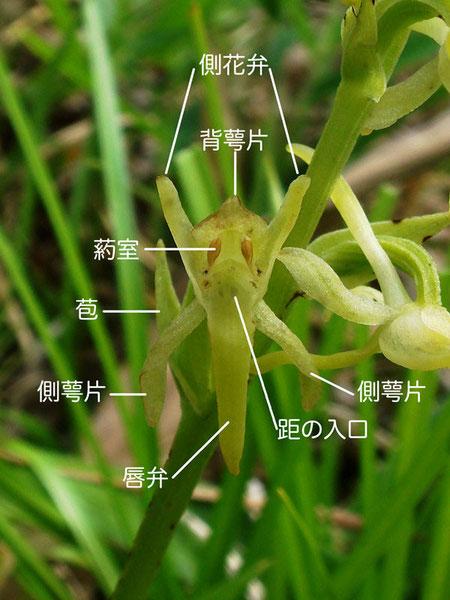 ヤマサギソウの花の正面 各部の名称