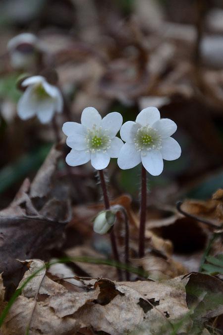 ここの花は萼片が白色だと葯も白色か白色に近いことが非常に多い。 個体差が少ない