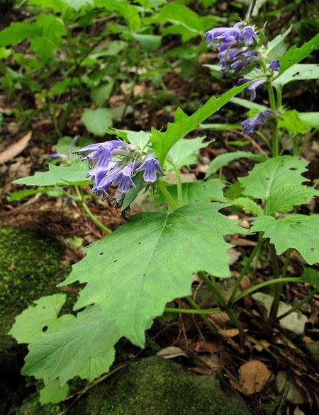 ヒイラギソウ (柊草) シソ科 キランソウ属 2010.05.29 群馬県
