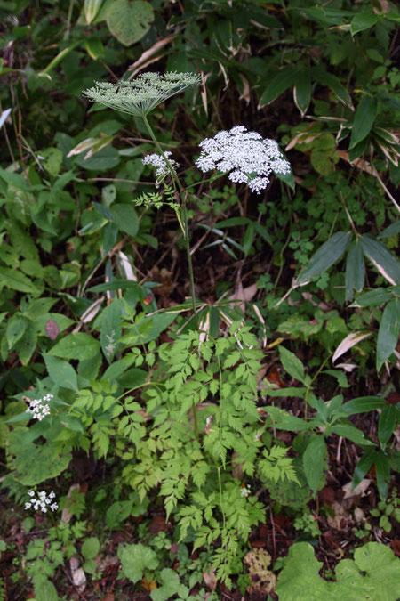 シラネセンキュウ (白根川笈) セリ科 シシウド属  高さは0.8〜1.5m