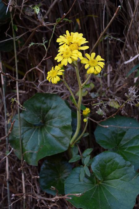 ツワブキ  海岸ではお馴染みの花です