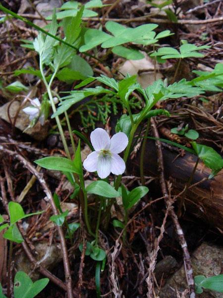 エイザンスミレ (叡山菫) スミレ科 ミヤマスミレ類  葉は深く切れ込みます