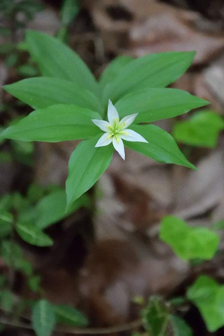 チゴユリはうなだれて咲くイメージがあったが、ここの花は前を向いていた