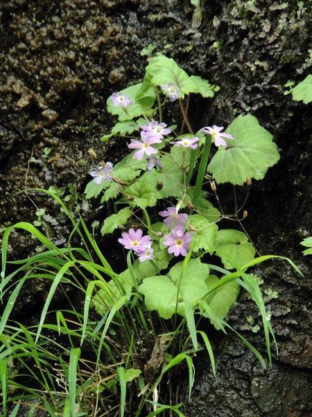 シナノコザクラ   2010.06.05 長野県