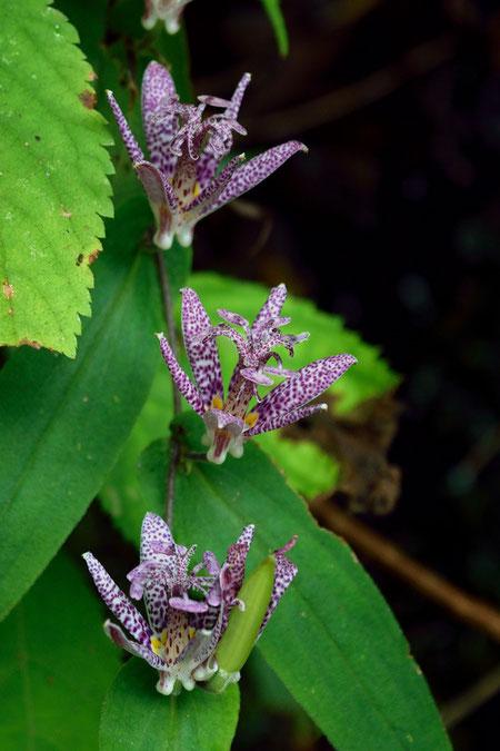 ホトトギス  複雑な形の花 花被の内側には多数の紫色の斑点があります