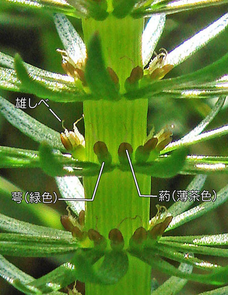 スギナモの花2