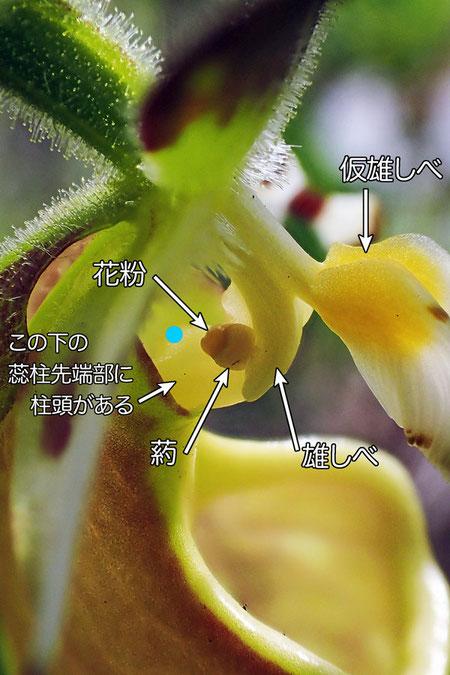 #11 キバナノアツモリソウの蕊柱(仮雄しべ、雄しべ、花粉、葯、蕊柱)