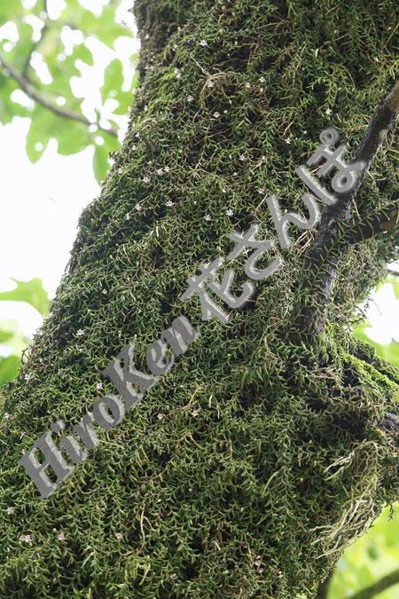 #10 柿の木を覆い尽くすムカデラン  2020年7月 九州