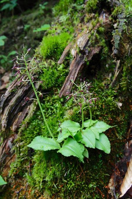 倒木の上に咲いていた  2011.07.10 長野県 北志賀高原