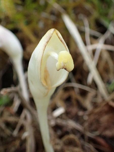 オオナンバンギセル 花冠が取れてしまった個体