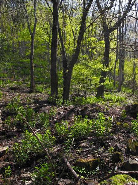 地面に生える高さ30〜60cmの植物はすべてマルミノウルシ!