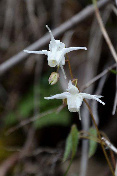 トキワイカリソウ (常葉碇草) メギ科 イカリソウ属  花色は白色でした