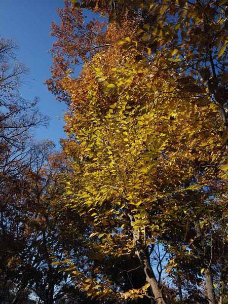 玉川上水の紅葉