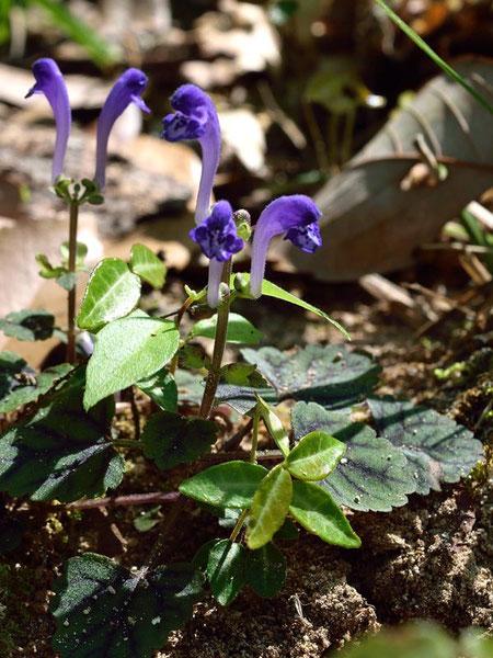 シソバタツナミ (紫蘇葉立浪) シソ科 タツナミソウ属