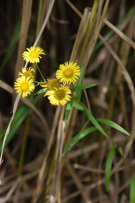 ホソバオグルマ (細葉小車) キク科 オグルマ属  名の通り葉が細い