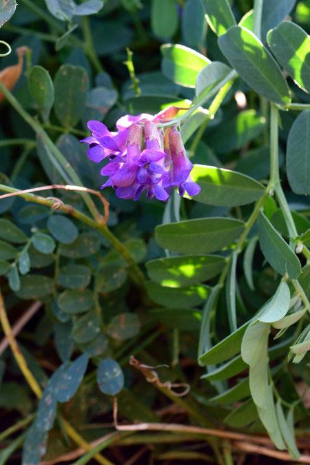 ヒロハクサフジ  美しい紫色の花