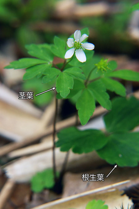 #3 ヒメイチゲ  2008.06.08 群馬県 野反湖