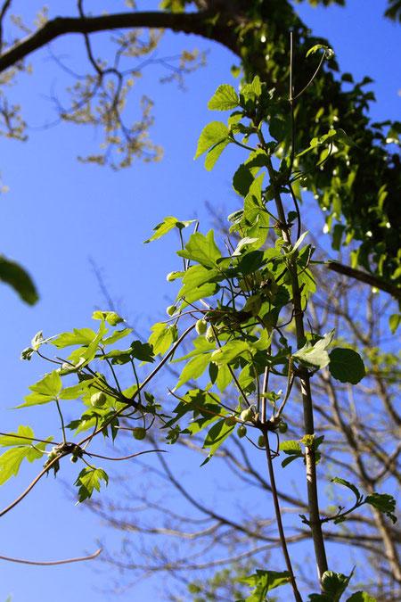 シロバナハンショウヅル