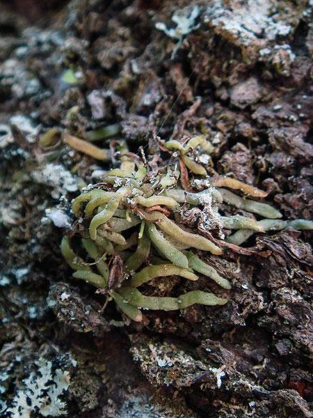 クモランの小さな株。 葉は退化し鱗片状、根で光合成する珍しいラン