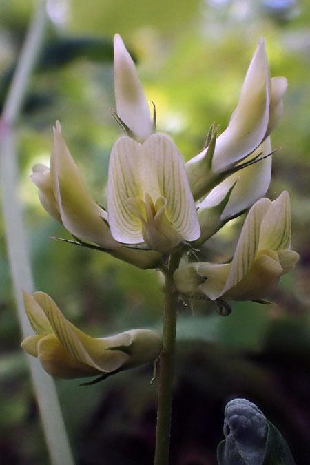 一番大きな旗弁には細い緑色の条が入っていた。 よく見ると美しい花だ
