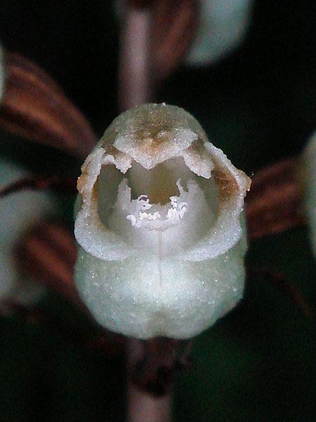シロテンマの唇弁先端部は不規則に細裂する