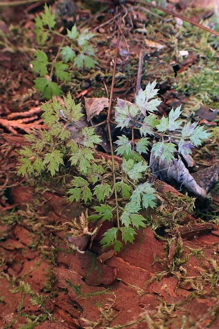 コセリバオウレンの葉は、3回3出複葉 セリバオウレンより小さい