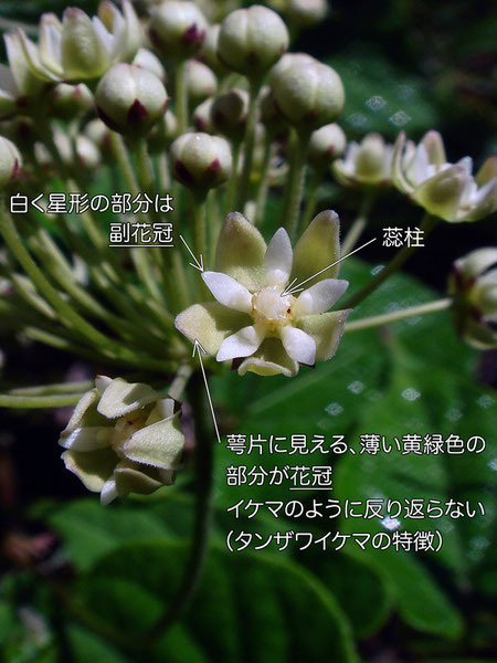 タンザワイケマに似る植物の花