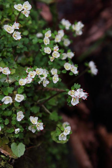 ハナネコノメ (花猫の目) ユキノシタ科 ネコノメソウ属