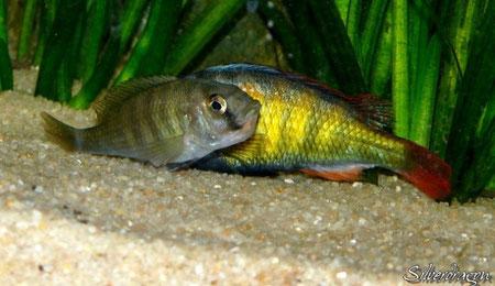 Couple d'Haplochromis CH44 en cours d'accouplement