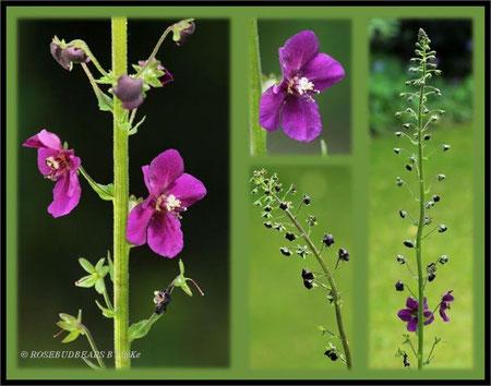 Purpur-Königskerze (Verbascum phoeniceum)