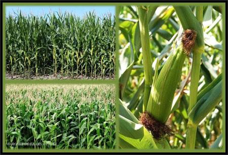Maisfelder - viele Bauern pflanzen Futtermais an - manche den süßen für die Küche
