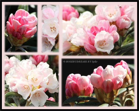Rhododendron Yakushimanum Schneekrone
