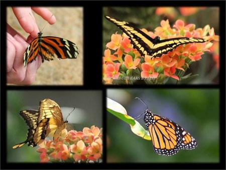 Hannover Berggarten Schmetterlinge  Gaukler der Tropen