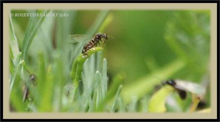 Ameisen Flügel