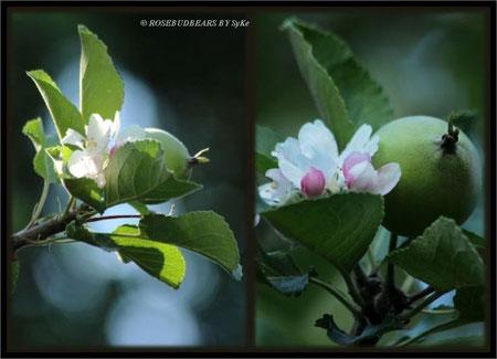 Apfel und Blüte