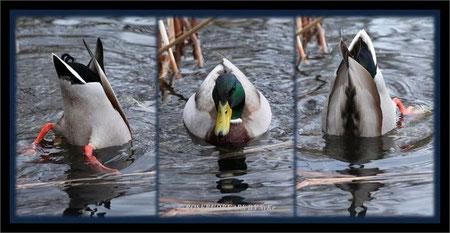 Ente im Stadtpark Hannover