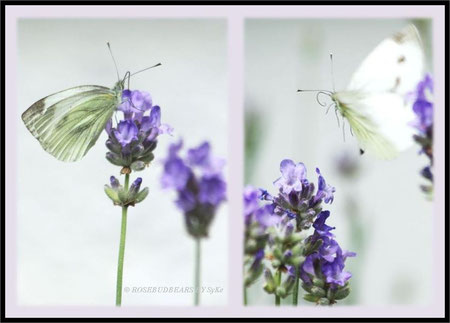 Kohlweißling Lavendel
