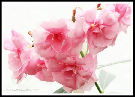 gefüllte Oleanderblüten