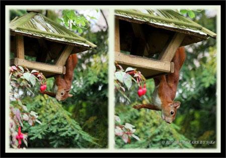 Eichhörnchen am Futterhaus