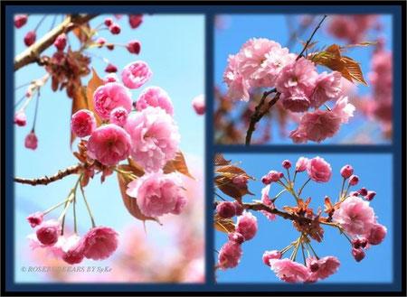 """japanische Zierkirsche """"Prunus serrulata kanzan"""""""