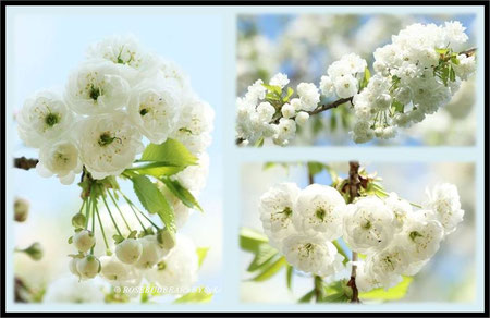 Hannover Hiroshima-Gedenkhain Alte Bult japanische Zierkirsche weiß