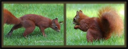 Eichhörnchen sind wasserscheu und nasser Rasen ist wirklich nicht ihr Ding.