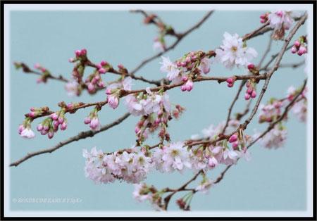 Kirschblüte japanische Zierkirsche