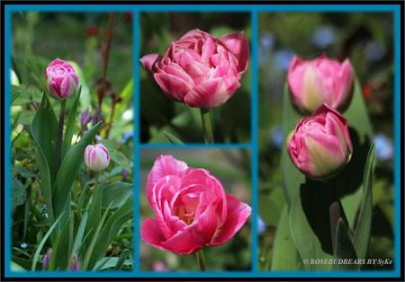 """eine wunderbare Tulpe mit dem Namen """"Christo"""" und """"Wedding Gift"""""""