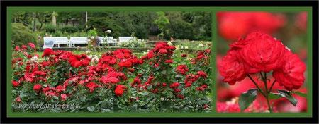 Stadtpark Hannover Rosen