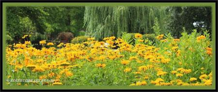 ein Meer von gelben Blüten in Hannovers Stadtpark
