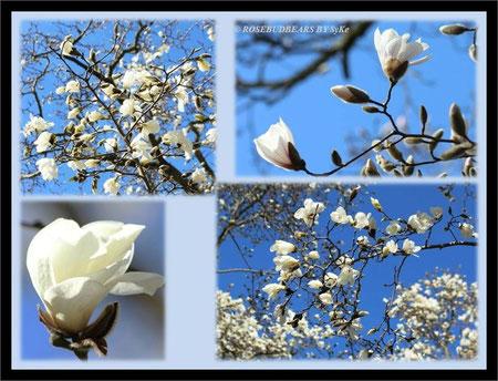 Hannover Herrenhausen Berggarten Magnolie