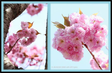 Zierkirsche rosa gefüllt
