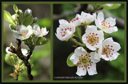 unser Birnbaum beim Aufblühen - dann sind die Blüten besonders schön